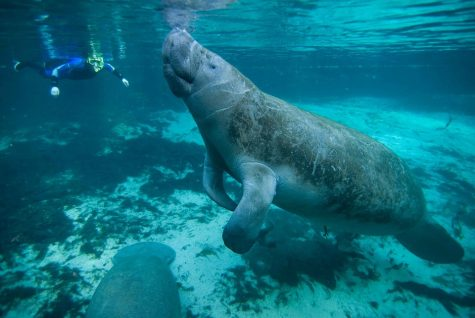 Saving The Manatees