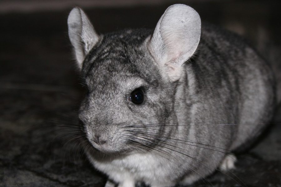The Uncommon House Pet: Chinchillas